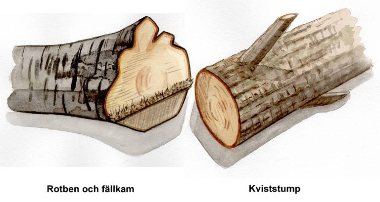 Rotben och fällkam, kviststump. Illustration Rose-Marie Rytter.